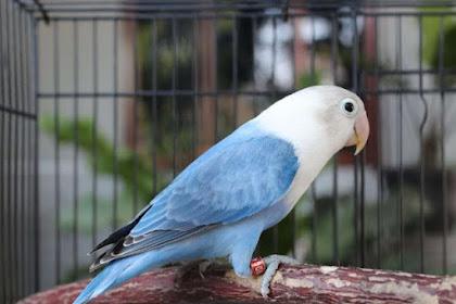 Jenis & Warna Burung Lovebird Langka