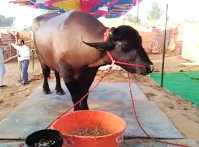 15 करोड़ का भैंसा, पीता है 1 किलो घी, खाता है बादाम, इसके कारनामों के बारे में जानकार हिल जायेगा आपका दिमाग।