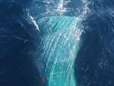 NP 180620 sardina - Científicos del IEO desarrollan un modelo capaz de predecir las descargas en puerto de sardina de un año para otro
