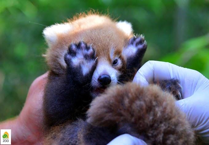 Kamu Geri komoly kérdéssel foglalkozik: Mi legyen a vörös panda kölyök neve?