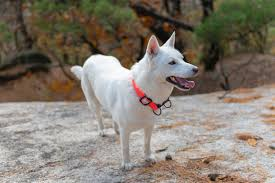Korean-Jindo-Dog