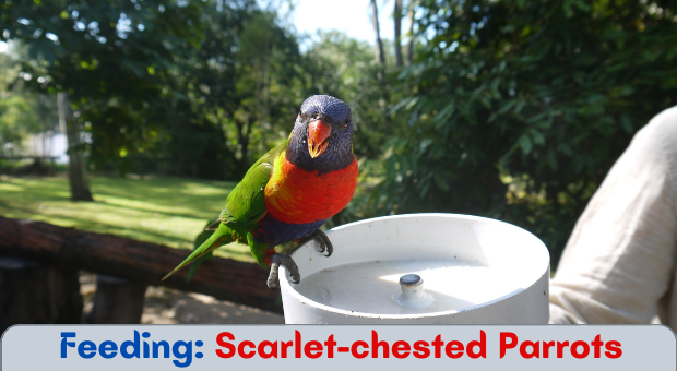 how to feed Scarlet-chested Parrots