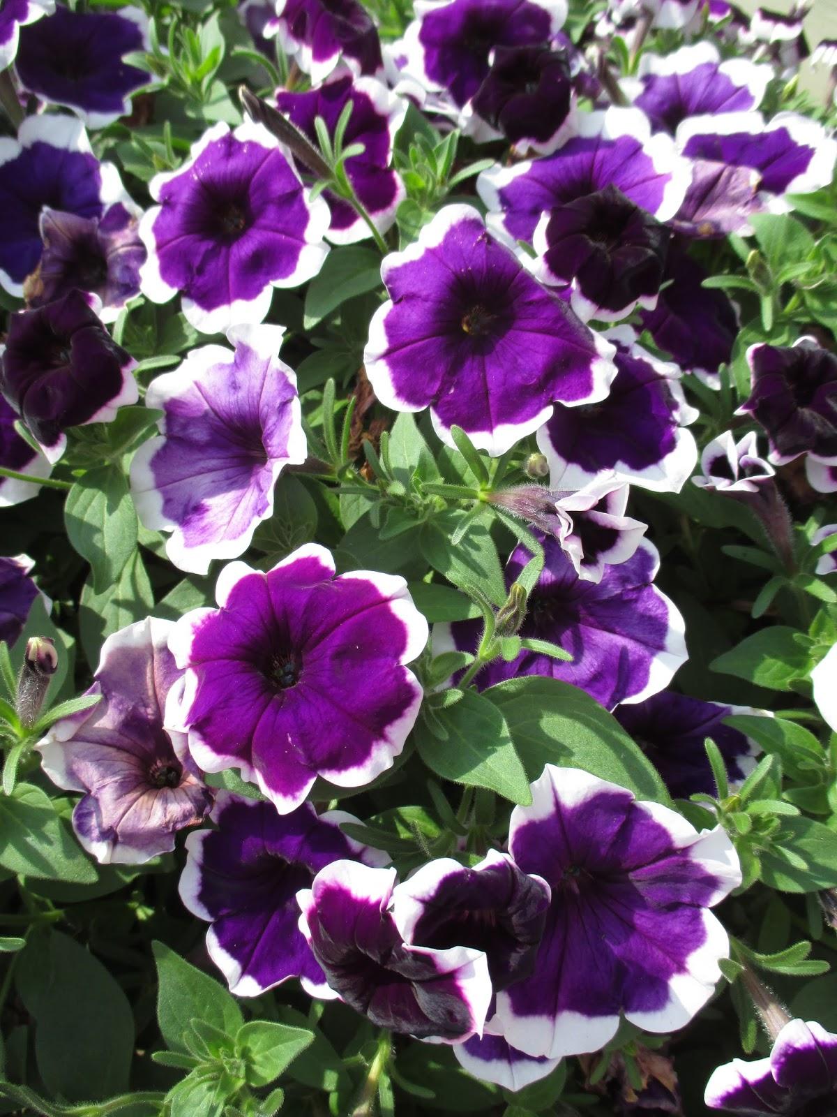 Rotary Botanical Gardens Hort Blog Plant Petunias