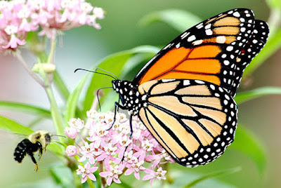 Monarch butterfly migration baffling for evolutionary speculations and testifies of the Master Engineer's skill.