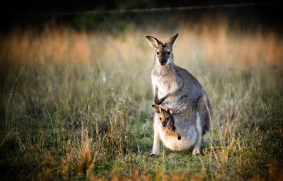 Animal australiano canguro