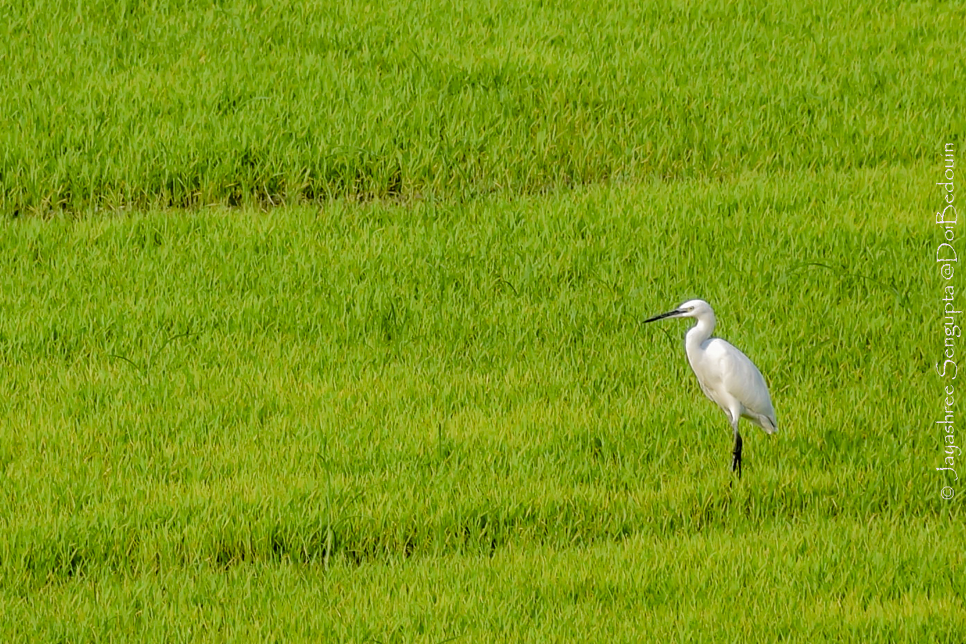 Location: West Bengal, India. A crane is captured viewing the scene as the photographer/ traveler. @DoiBedouin