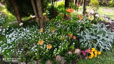 Azalie i rododendrony - kompozycje, zdjęcia