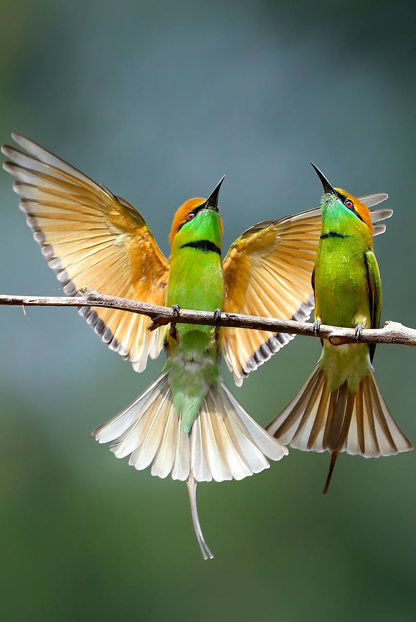 Beautiful bee-eaters.