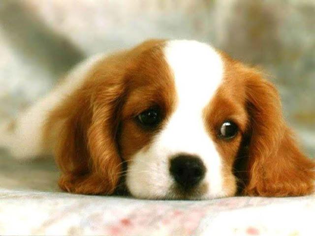 Bệnh viêm bàng quang ở chó