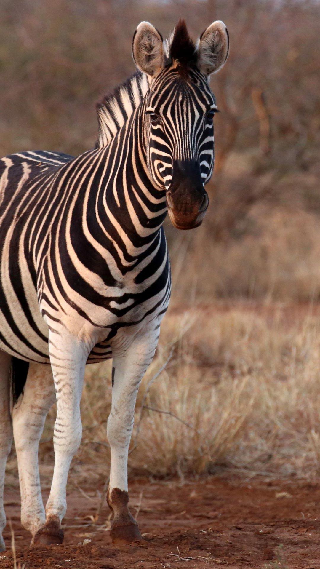 Zebra, Africa, Wildlife, Safari