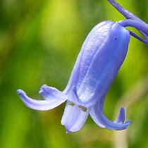 http://wild-flowers-of-europe.blogspot.nl/2014/10/hyacinthoides-non-scripta.html