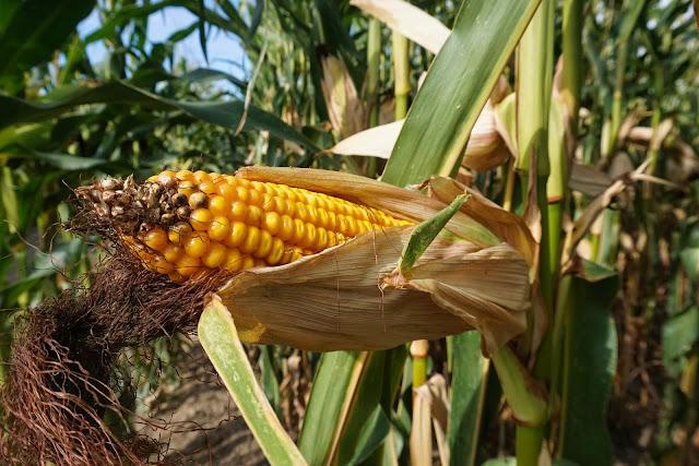 Tanaman jagung merupakan salah satu jenis tanaman pangan pengganti beras yang digolongkan Pola Tanam yang Baik Digunakan Dalam Budidaya Jagung