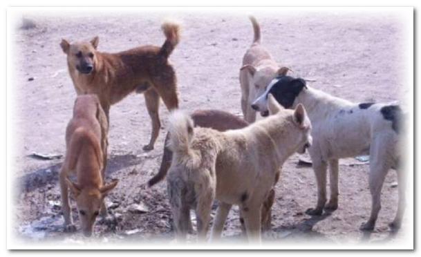 الكلاب الضالة ترسل سيدة في حالة حرجة لمستشفى الحسن الثاني بطانطان والمجلس البلدي يتملص من مهامه