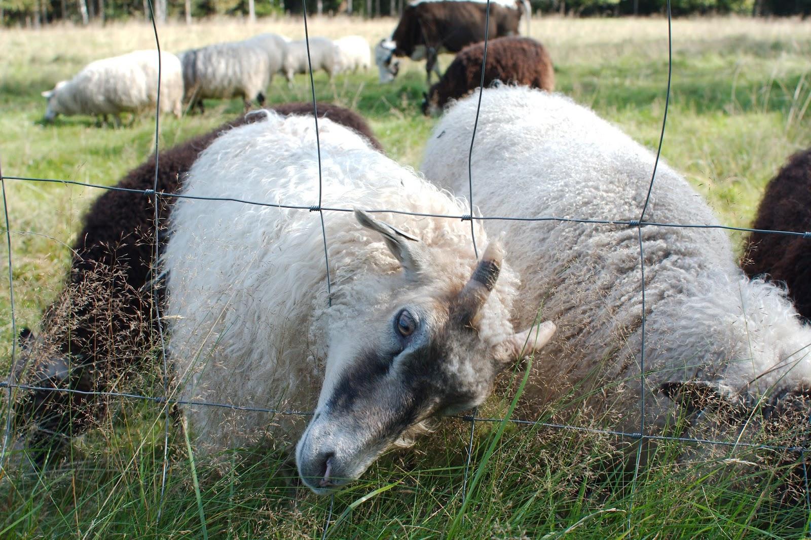 Lampaita  Kattilan niityllä