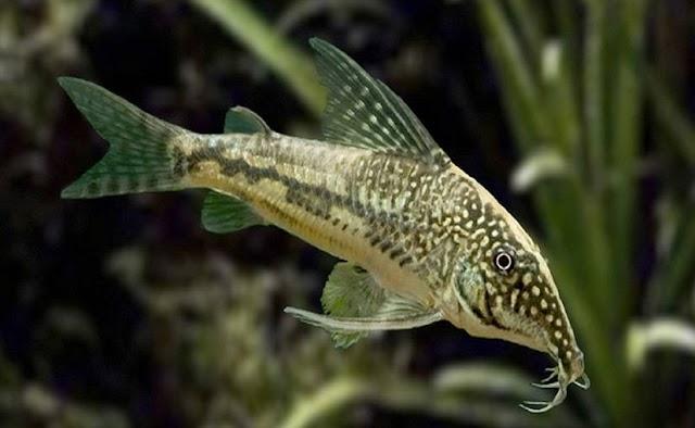 11 Ikan Hias Pemakan Lumut Untuk Aquarium Beserta Harganya