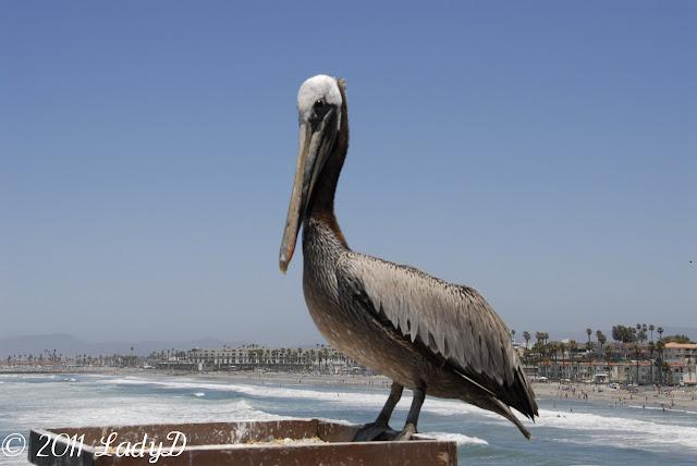 Pelican Pete: LadyD Books