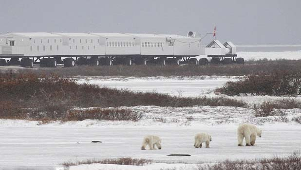The Tundra Lodge is an exclusive moving hotel that was customized and positioned in an area where polar bears are in great number.     There are 32 cabins that look like as we see in the train having convenient beds. Here you will find the watching stands, sliding windows, dining room, sitting room, four showers and six toilets.