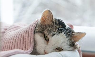 Berbagai Macam Penyakit Kucing