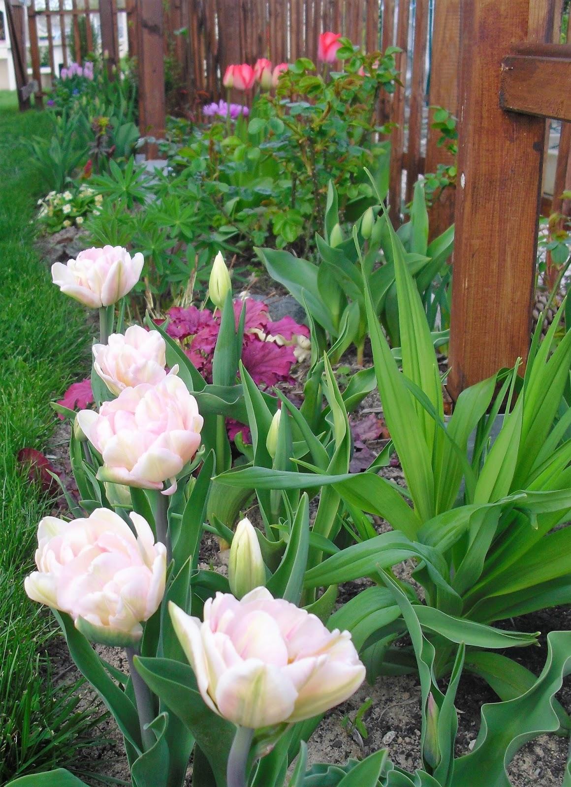 Mon petit jardin en sologne premi res tulipes - Planter des tulipes en mars ...