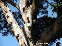 Albizia tree peeling bark - Foster Botanical Garden, Honolulu, HI