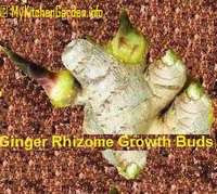 Ginger Rhizomes with Growth Buds