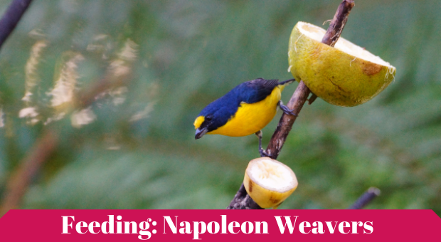 how to feed Yellow-crowned bishop
