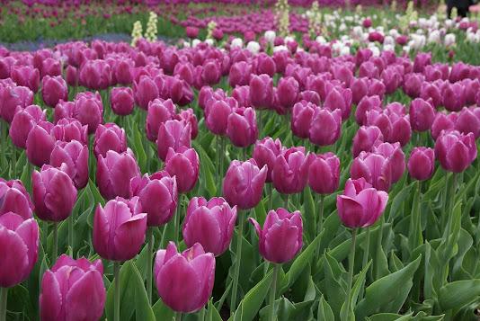Тюльпаны по низким ценам от компании «Теплица-тюльпанов.рф» в агрофирме «Подмосковное»