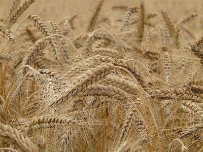 wheat/gram and lentil procurement in bihar