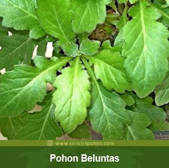 ciri ciri pohon beluntas