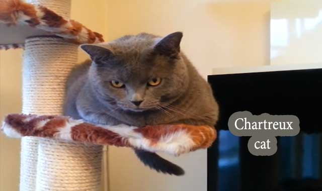 Chartreux Cat Breed Information