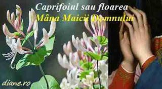 Caprifoiul sau floarea Mâna Maicii Domnului: Simbol, legendă și superstiții