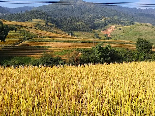 The joy of the ethnic minority in Mu Cang Chai in the harvest of rice