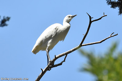 Martinet blanc (Egretta garzetta)