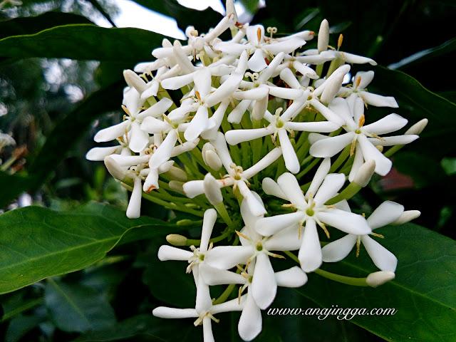 bunga jenjarom putih