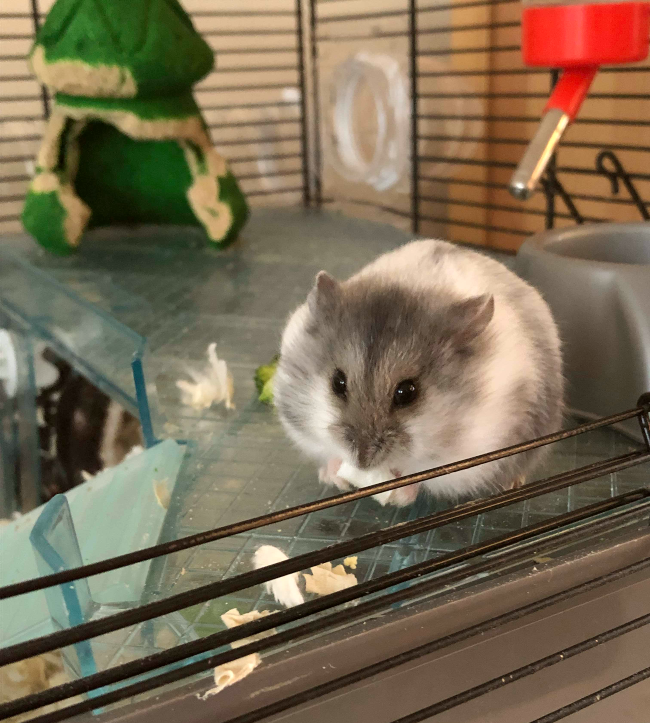 Grey hamster eating a boiled egg