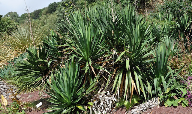 Yucca gloriosa growing in scrubland