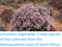 http://sciencythoughts.blogspot.com/2019/05/limonium-dagmarae-new-species-of-sea.html