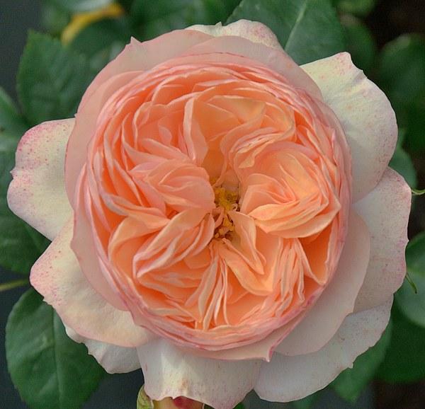 Sourire du Havre сорт розы фото саженцы Минск