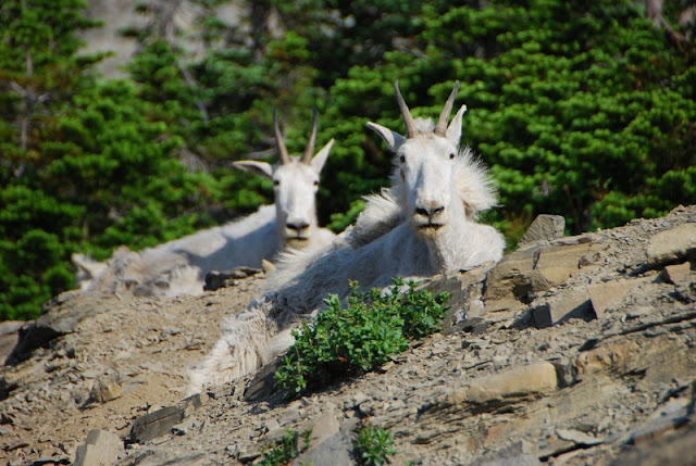 wild goat at Glacier National Park