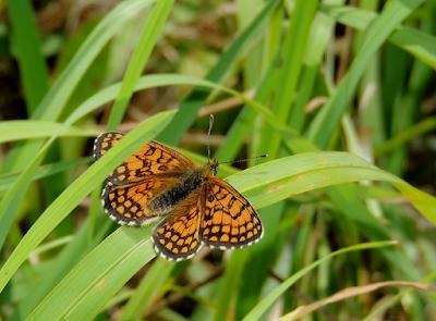 Mariposa Melitaea deione