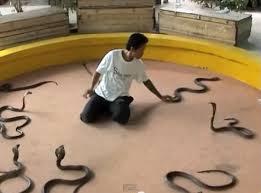 about cobra snake