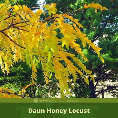 Ciri Ciri Daun Honey Locust