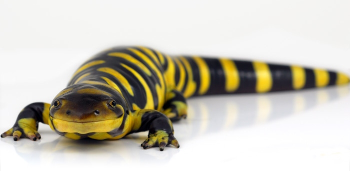 Something to care for....: Salamanders