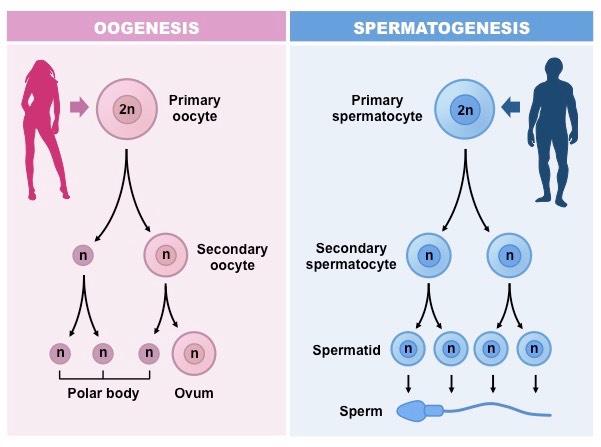 Male Female Sex Process