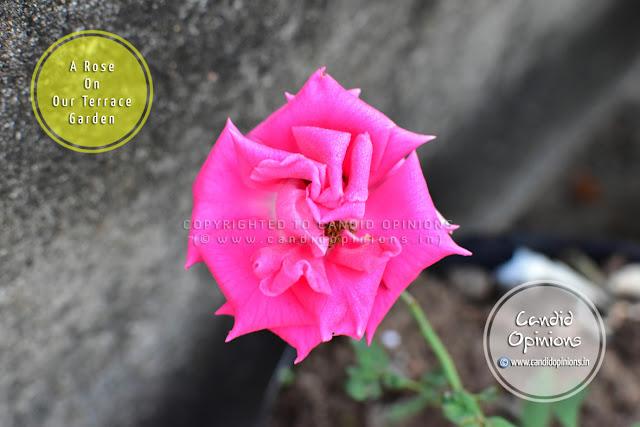 A Rose On Our Terrace Garden