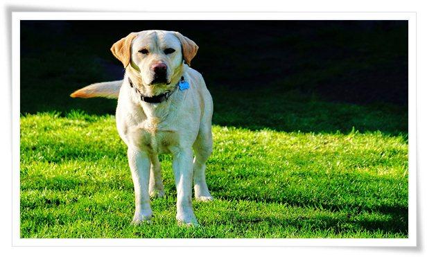 labrador retriever,labrador retriever training,train a labrador,train a labrador retriever puppy,training a labrador retriever,how to train a puppy,labrador,labrador retriever dogs 101,how to train a dog,how to potty train a puppy,labrador training,labrador retriever puppy training,labrador retriever training videos,labrador retriever hunting,labrador retriever puppies,labrador puppy,labrador retriever training puppy,labrador retriever potty training