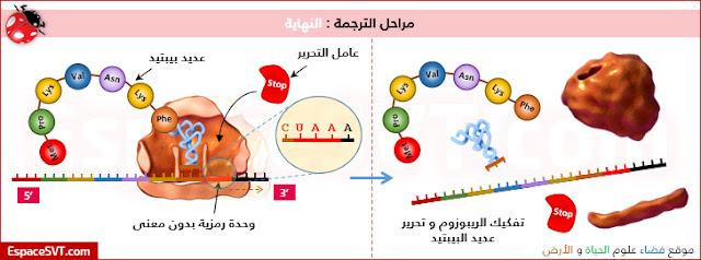 صف من خلال الوثائق الثلاث المقترحة، كيفية تركيب البروتينات انطلاقا من الـ ARNm.