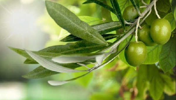 What are the benefits of olive paper?