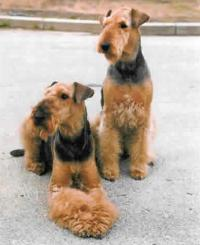 Airedale Terrier Dog Reviews and Pictures  Dog breeds and Puppies Pictures