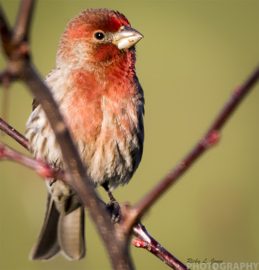House Finch in Full Color